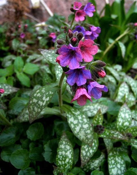 Spring Tips by Pulmonaria Plant How To Grow Lungwort Bethlehem Sage