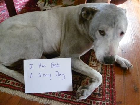 gray dogs i am not a grey