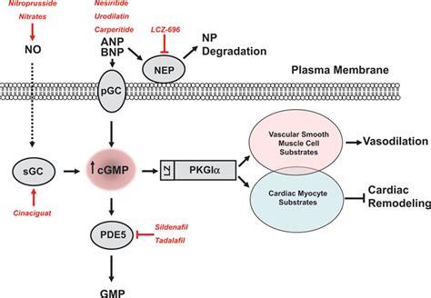 protein kinase g protein kinase g i and failure circulation