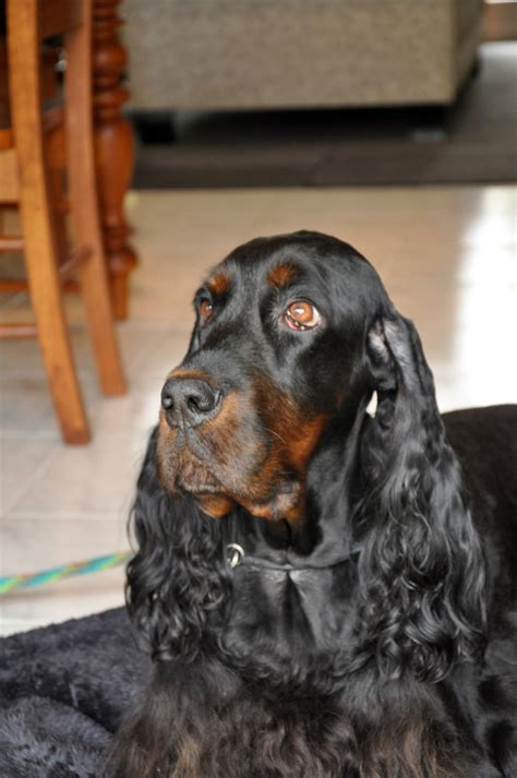 gordon setter dog temperament weblyn gordon setters gordon setters of type and