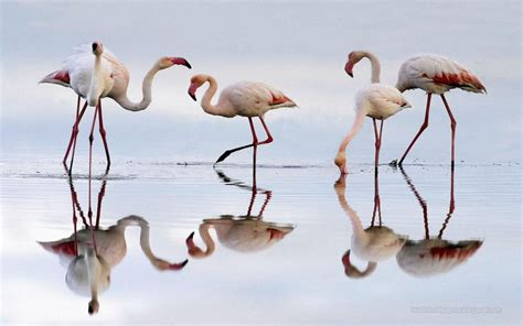 flamingo computer wallpaper desktop wallpapers animals wallpapers flowers wallpapers