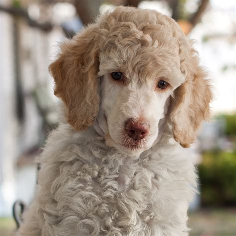poodle puppy haircuts haircut walnut valley standard poodles