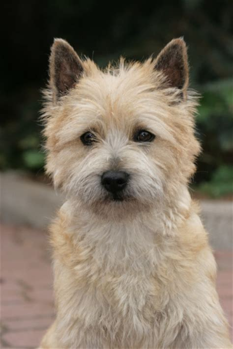 cairn terrier haircuts grooming styles for cairn terriers hairstylegalleries com