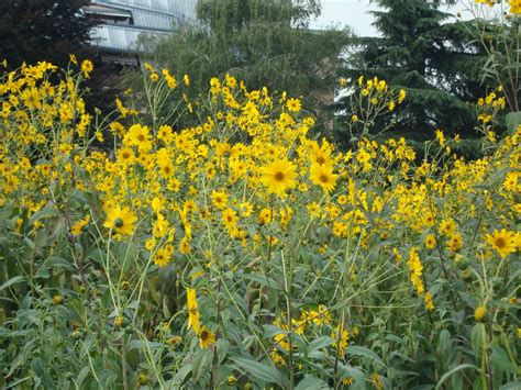 fiori topinambur un piccolo giardino in citt 224 topinambur il fiore
