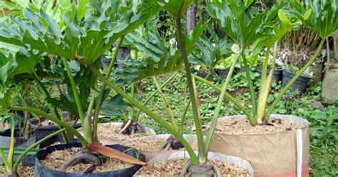 Philodendron Selloum Tanaman Philo pohon philodendron jari jual tanaman hias