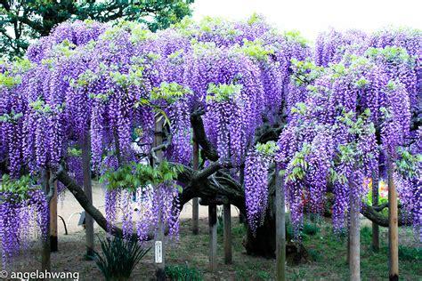 getting wisteria to bloomm viewing wisteria at ashikaga flower park 183 angela hwang