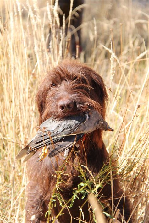 Pudelpointer Shedding by Pudelpointer Photos