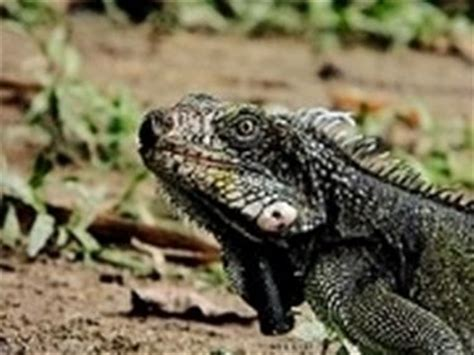 alimentazione iguana iguana verde lucertole