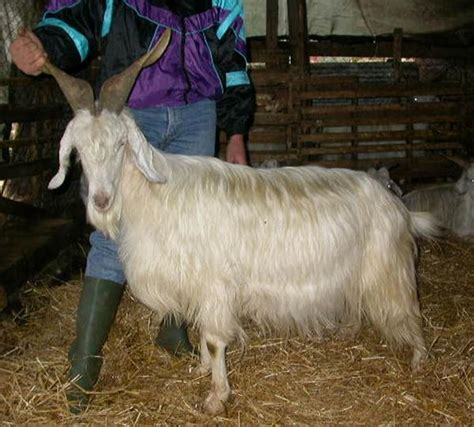 versi di animali da cortile razas italianas de cabras monticellana