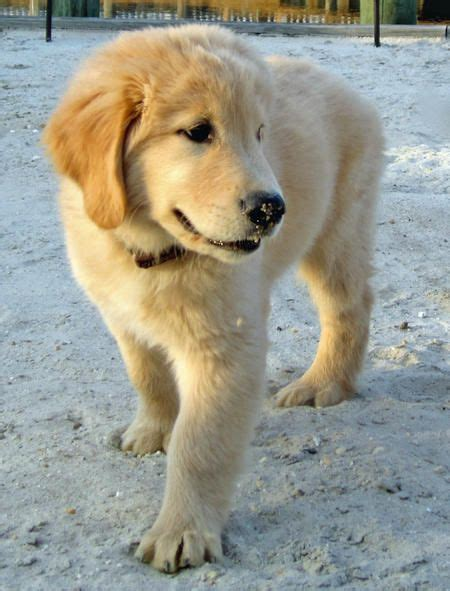 common golden retriever names best 25 golden retriever names ideas on pups golden retriever