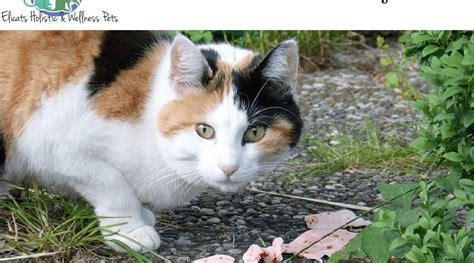 gatti alimentazione casalinga dieta casalinga per gatto le proteine e il valore