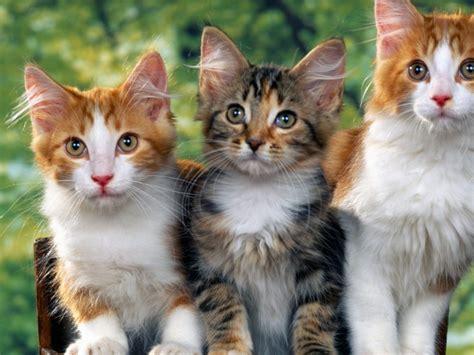 wallpaper hd cute cat cute cats beautiful wallpapers images for desktop hd