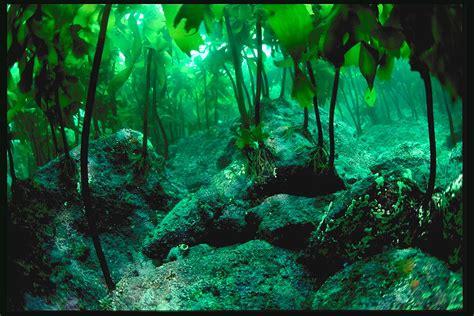 kelp bed the atlantic ocean