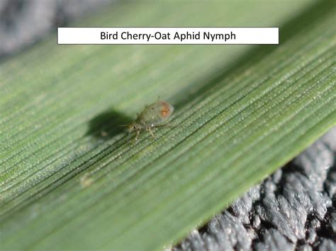 Uncategorized Extension Entomology | wheat aphids extension entomology