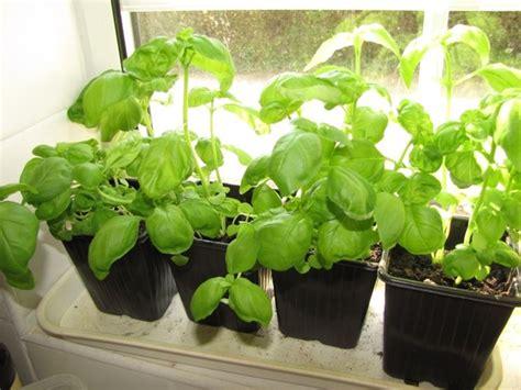 basilico in vaso coltivazione basilico ocymum basilicum ocymum basilicum orto