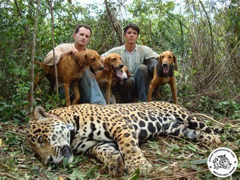 imagenes jaguarete instituto on 231 a pintada canil jaguaret 234