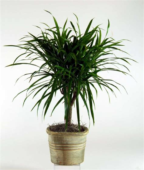 spider plant low light best houseplants that are hard to kill and maintenance tips
