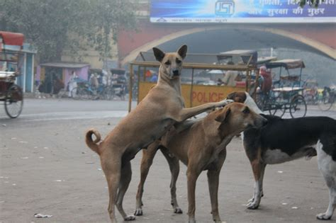 indian breeds indian pariah dogs we need to