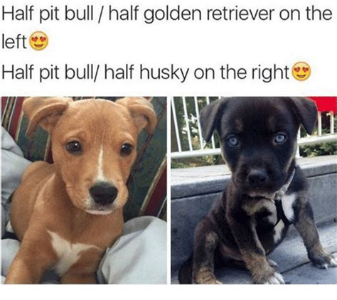 half husky half golden retriever half pit bull half golden retriever on the left half pit bull half husky on the right