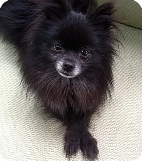 pomeranian for adoption in va richmond va pomeranian meet onyx a puppy for adoption