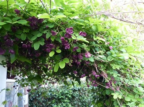 pianta sempreverde con fiori le siepi ricanti sempreverdi siepi ricanti