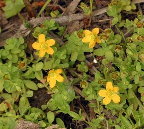 iperico fiore iperico d acqua hypericum anagalloides hypericum