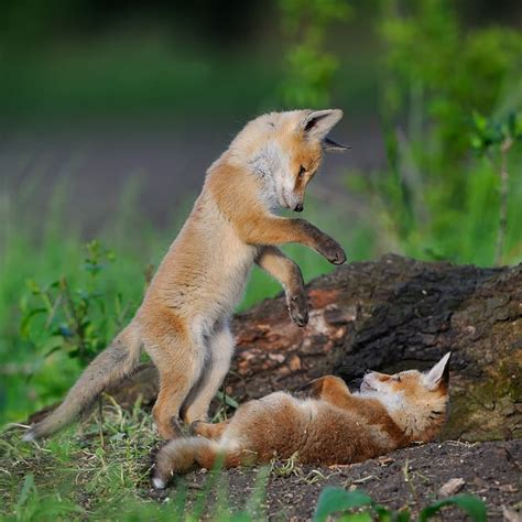 the man red fox 009910881x 233 best images about of fox and foe in the land of snow
