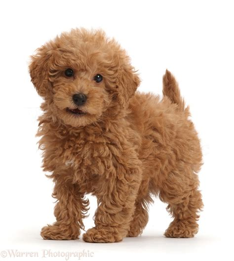 puppy puppy puppy puppy labradoodle puppy standing photo wp42930