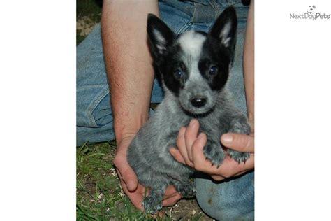 queensland puppies australian blue heeler rescue in northern california where breeds picture