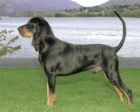 black and breeds black and coonhound breed guide learn about the black and coonhound