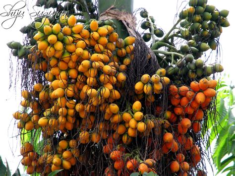 Jual Bibit Jeruk Nipis Tanpa Biji fruit warehouse betel nut areca catechu