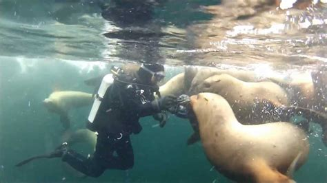 dive bc hornby island scuba diving with sea lions bc canada 2013
