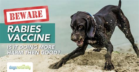 how are rabies for dogs rabies vaccination can cause rabies symptoms in dogs dogs naturally magazine