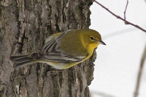 winter warblers by alex lamoreaux nemesis bird