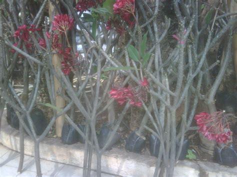 Bibit Bunga Gumitir penjual tanaman hias di rawa belong tanamanbaru