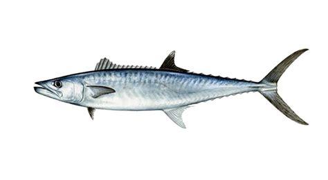 Ikan Segar Ikan Fresh Ikan Beku Ikan Kerapu Moso 1kg Up jual ikan laut segar di jakarta jual ikan laut beku segar murah di jakarta
