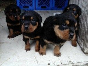 rottweiler puppies in arkansas 25 best ideas about rottweiler puppies for sale on german rottweiler