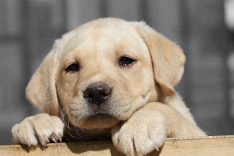 alimentazione labrador dove prendere un cucciolo di labrador
