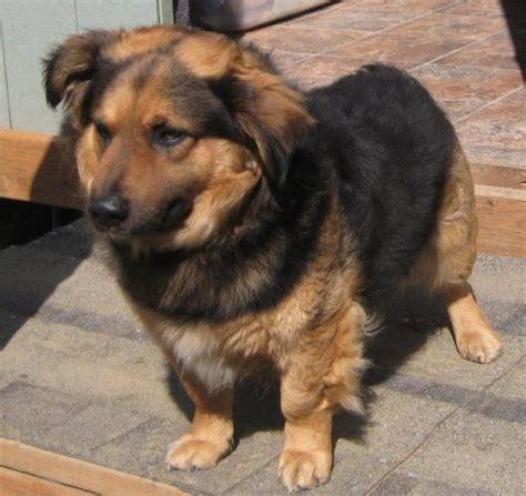 german shepherd x pomeranian 25 best corgi pomeranian mix ideas on pomeranian mix cutest puppy and