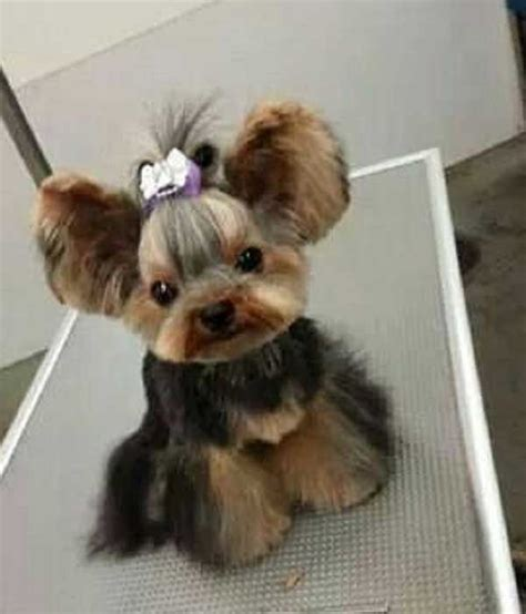 teacup yorkie haircuts pictures cute yorkie cut cute bit of fluff pinterest yorkies