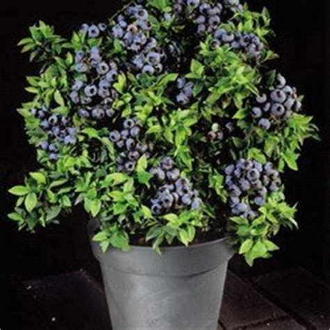 highbush blueberry 50 seeds vaccinium