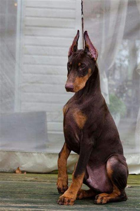 his name was my with a remarkable doberman pinscher books best 25 chocolate doberman ideas on