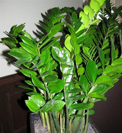 Tanaman Daun Beringin Dollar tanaman hias 24 contoh tanaman hias daun paling populer