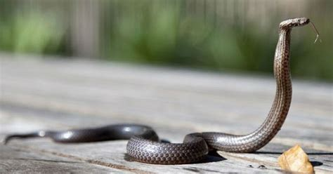 kakak beradik meninggal dunia usai digigit ular  tidur