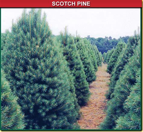 scotch pine trees scotch pine wisconsin tree