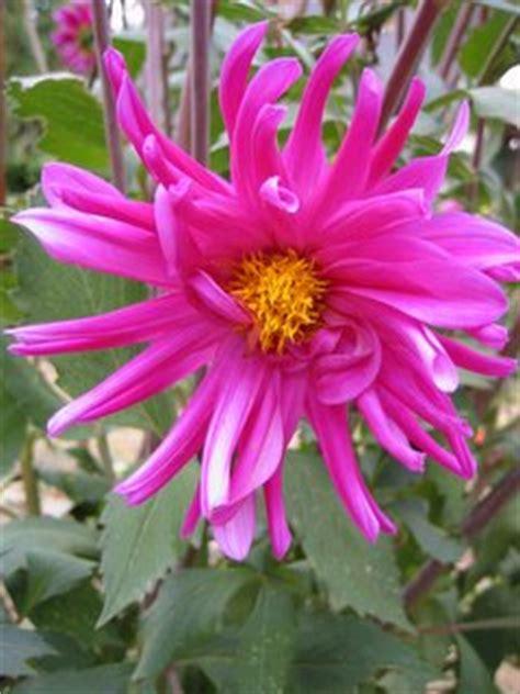Bibit Bunga Matahari Jakarta bunga dahlia cara menanam dan perawatannya toko bunga
