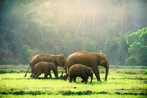 elephant family walking   meadow species