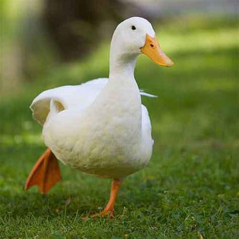 a un c 243 mo cuidar a un pato mascota