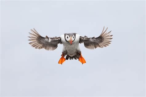 atlantic puffins flying and flapping 171 arthur morris birds