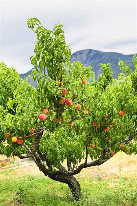 my fruit trees not producing fruit how to grow harvest to table